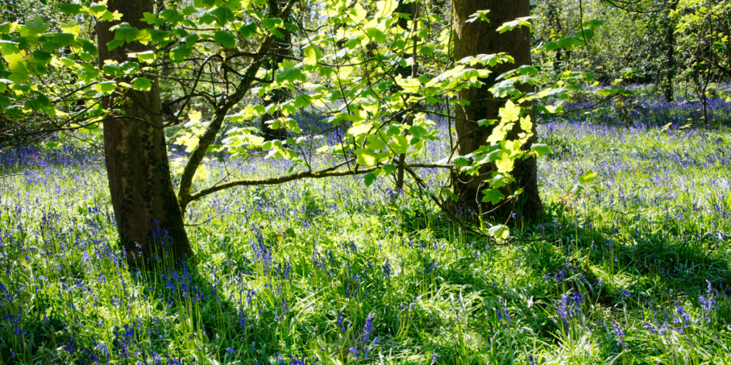 Earth Day 2021 - bluebell woods. Time to take climate action